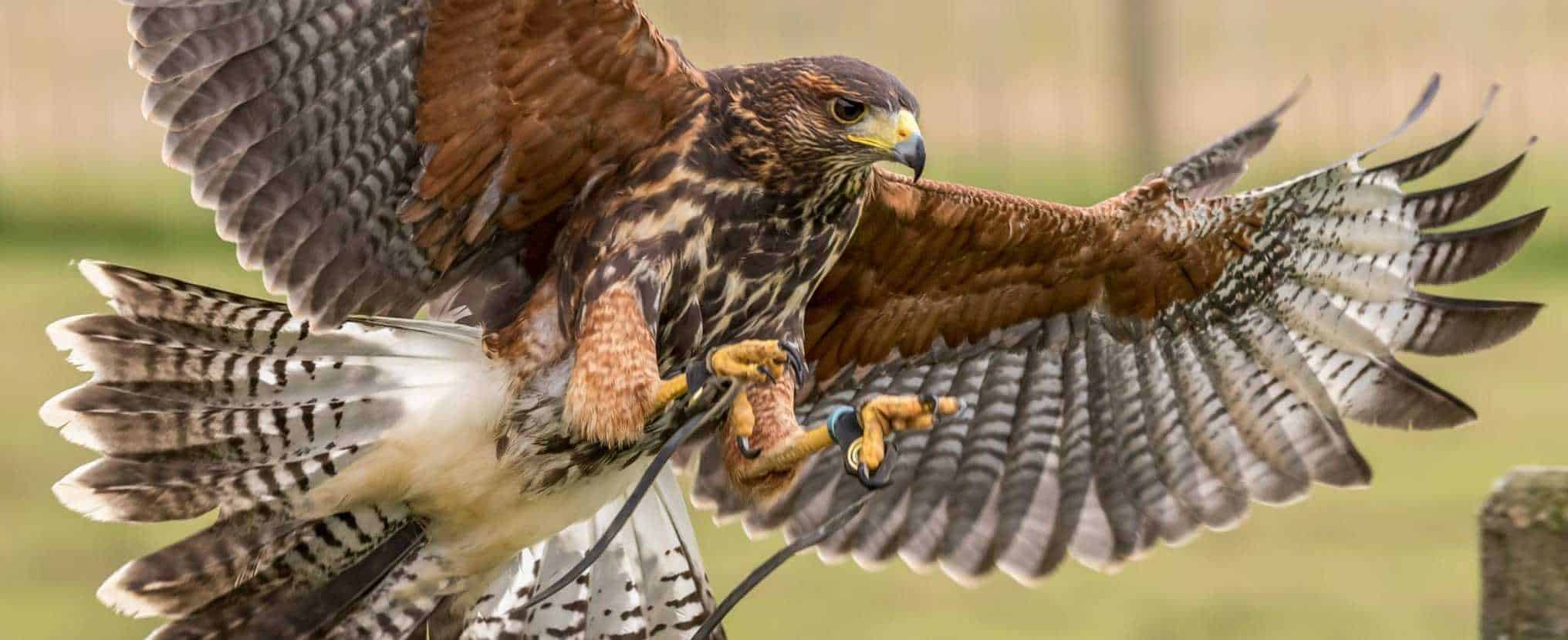 Harris Hawk at the National Centre for Birds of Prey, Duncombe Park, Helmsley UK