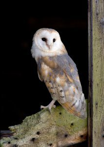 Barn Owl at the National Centre for Birds of Prey, Duncombe Park, Helmsley UK