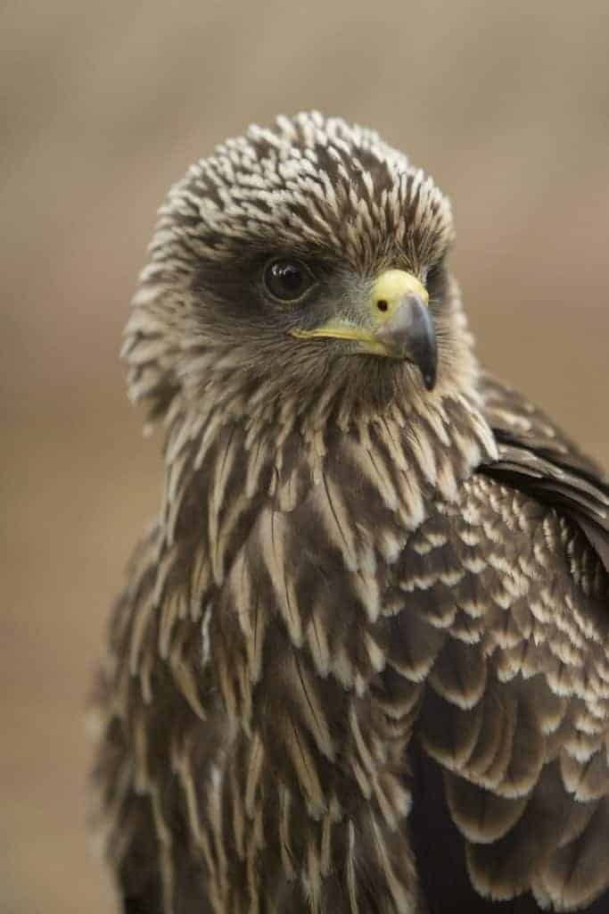 Yellow Billed Kite at the National Centre for Birds of Prey, Duncombe Park, Helmsley UK