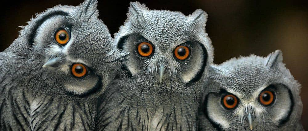 White Faced Owl at the National Centre for Birds of Prey, Duncombe Park, Helmsley UK