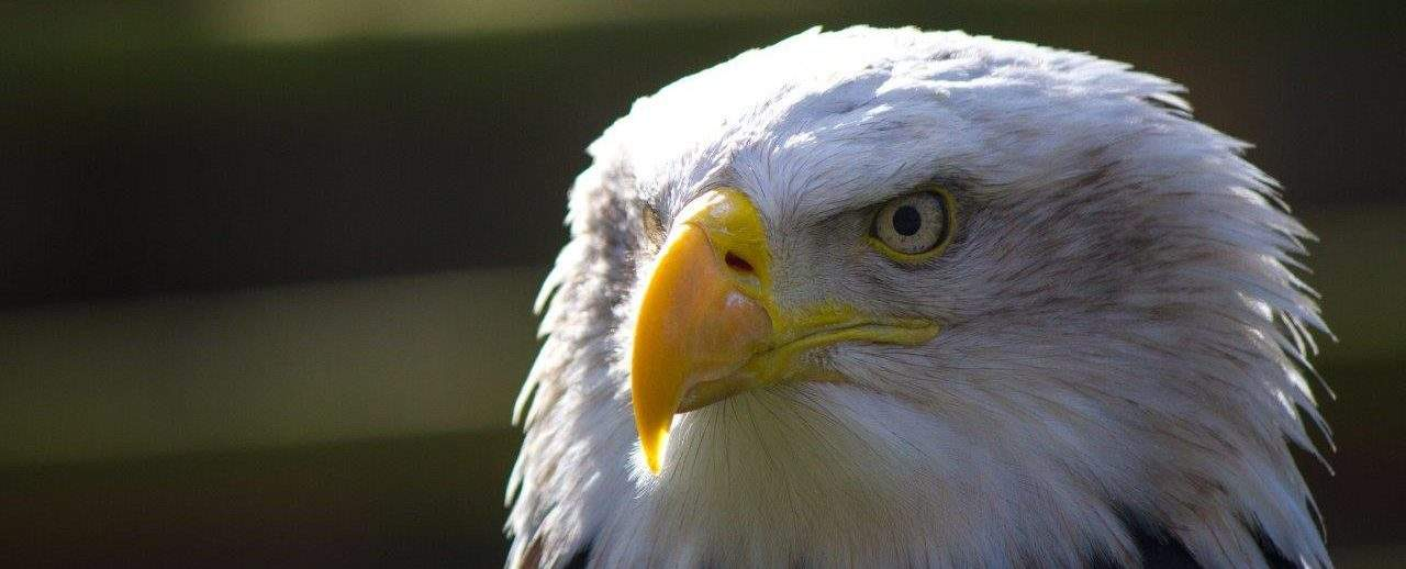 Bald Eagle at the National Centre for Birds of Prey, Duncombe Park, Helmsley UK