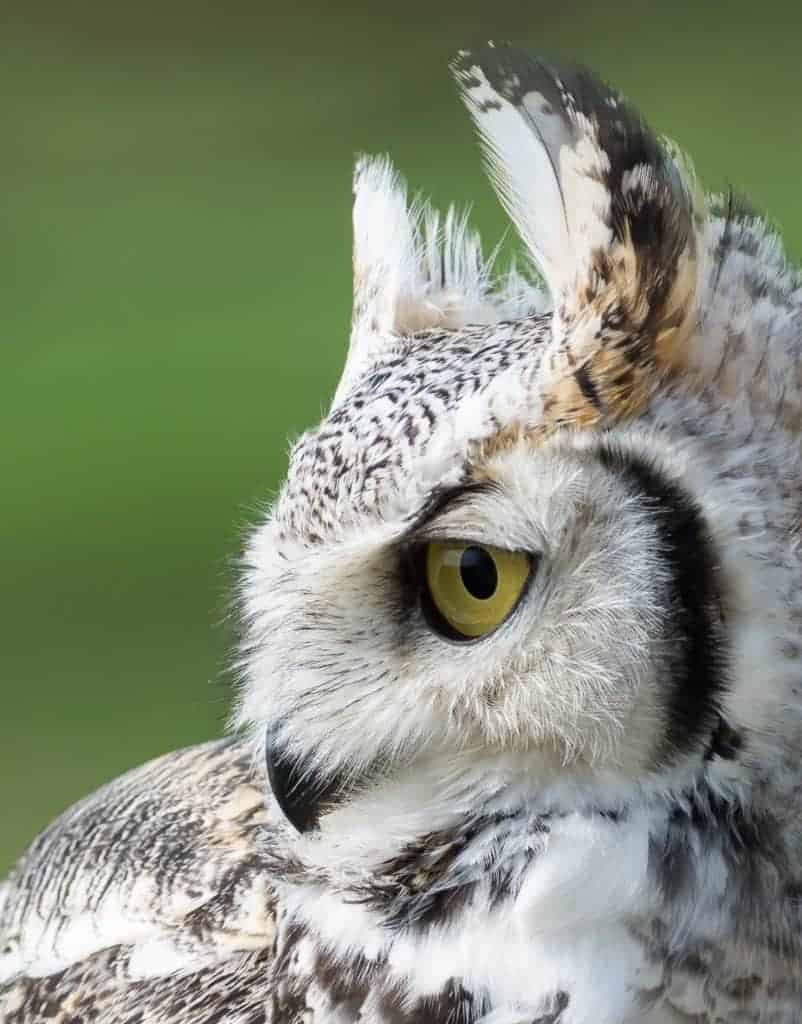 Great Horned Owl at the National Centre for Birds of Prey, Duncombe Park, Helmsley UK
