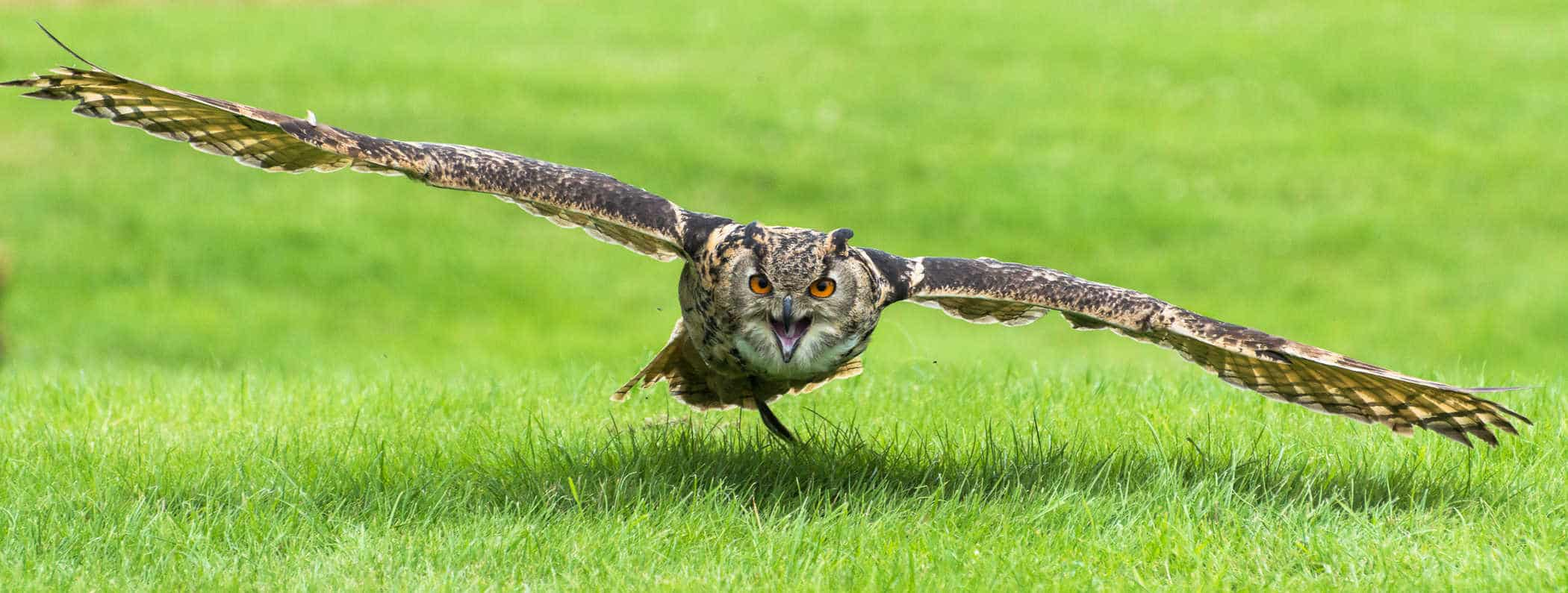 Eurasian Eagle Owl at the National Centre for Birds of Prey, Duncombe Park, Helmsley UK