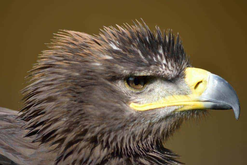 Steppe Eagle at the National Centre for Birds of Prey, Duncombe Park, Helmsley UK