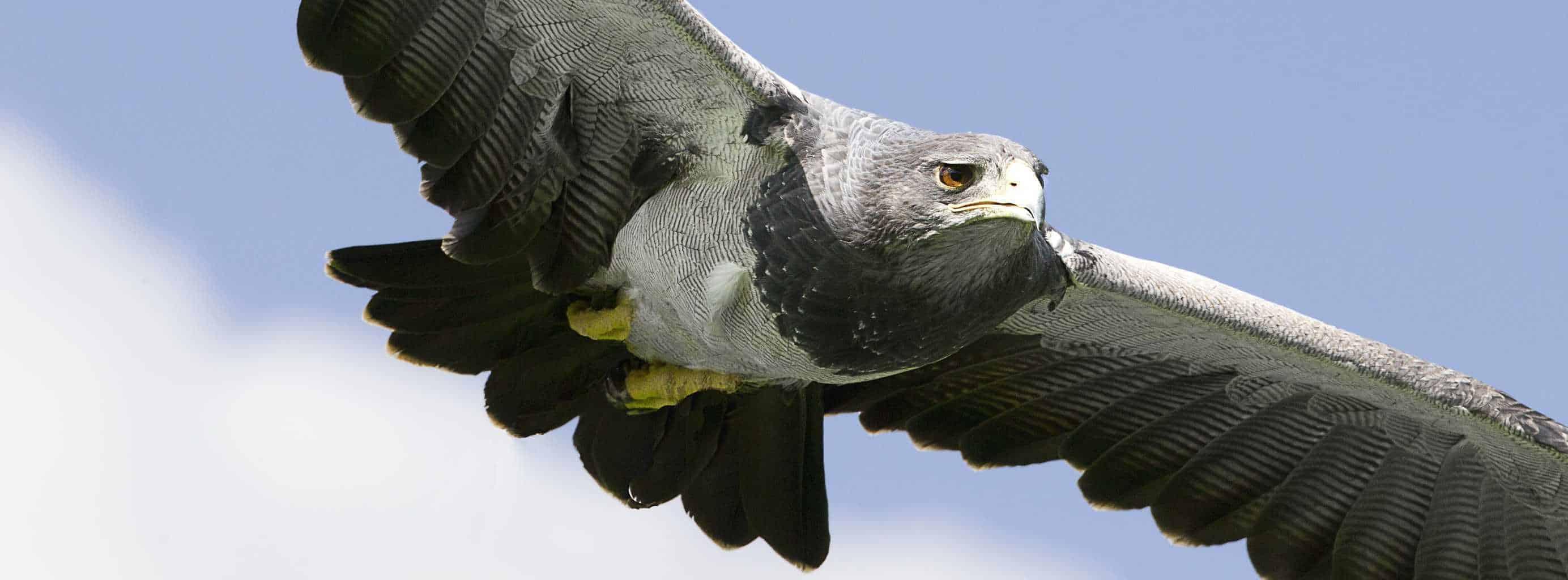 Grey Buzzard Eagle at National Centre for Birds of Prey