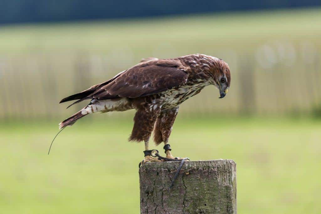 Common Buzzard at the National Centre for Birds of Prey, Duncombe Park, Helmsley UK