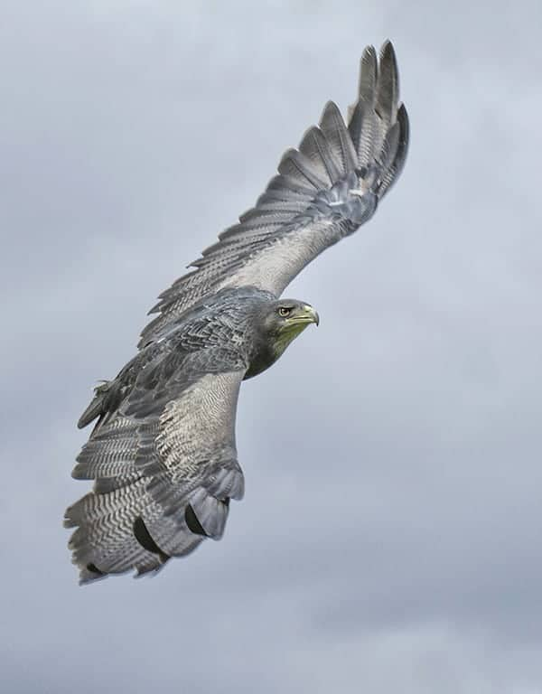 Grey Buzzard Eagle at the National Centre for Birds of Prey, Duncombe Park, Helmsley UK