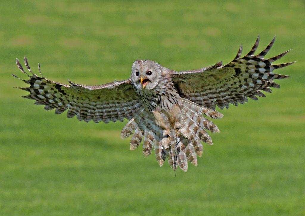 Ural Owl at the National Centre for Birds of Prey, Duncombe Park, Helmsley UK