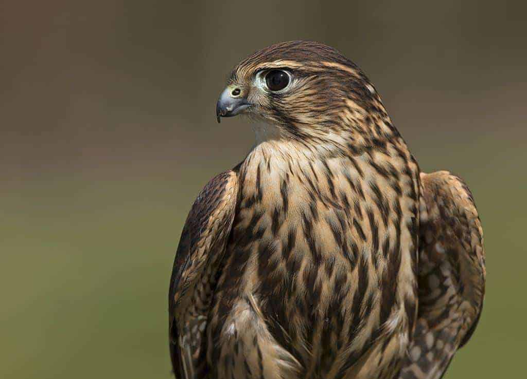 Merlin at the National Centre for Birds of Prey, Duncombe Park, Helmsley UK