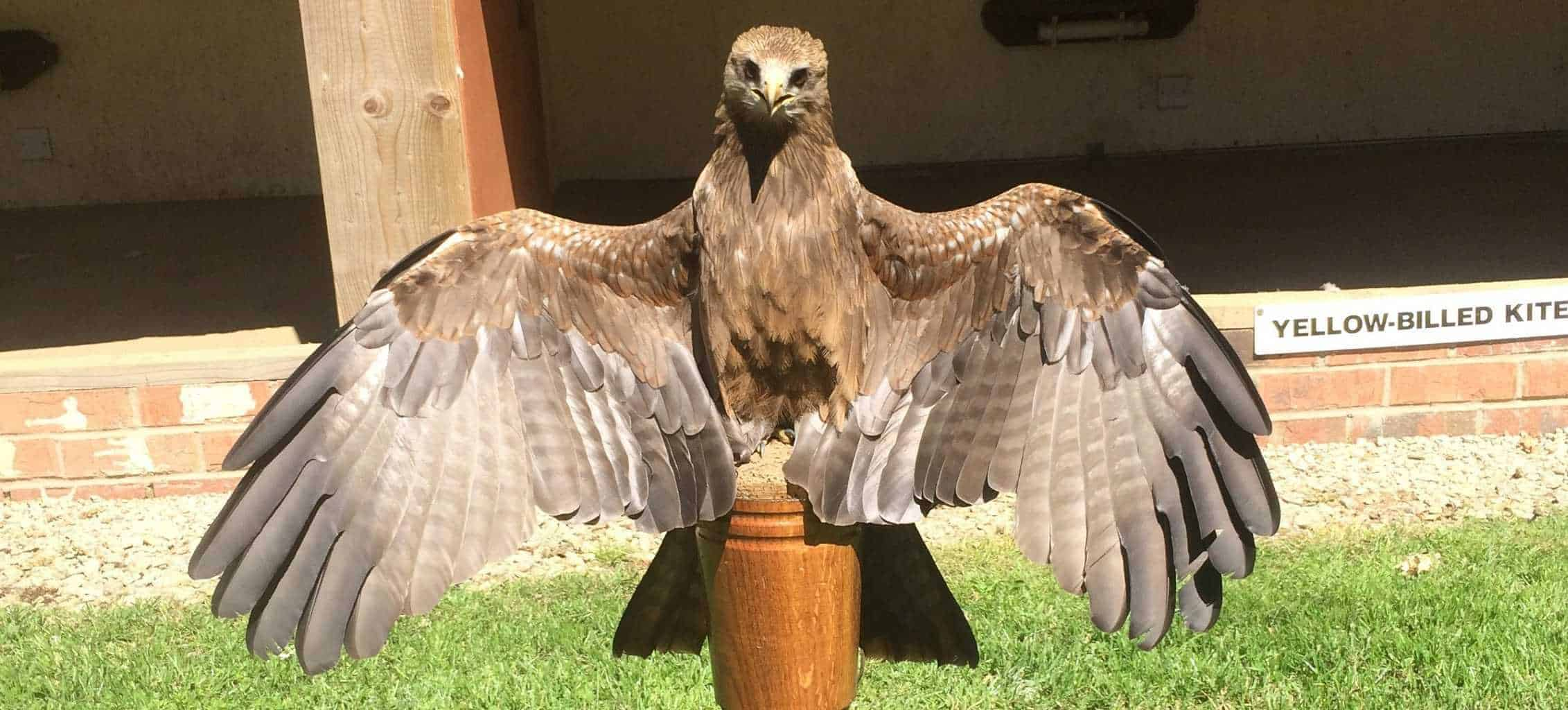 Yellow Billed Kite at National Centre for Birds of Prey