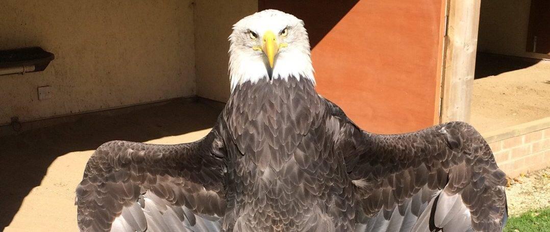 Bald Eagle at National Centre for Birds of Prey