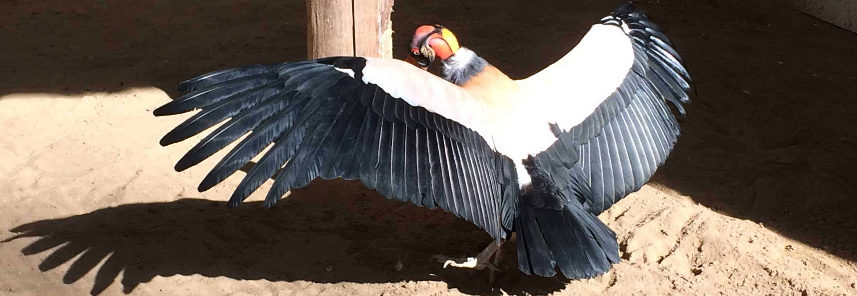 King Vulture at National Centre for Birds of Prey
