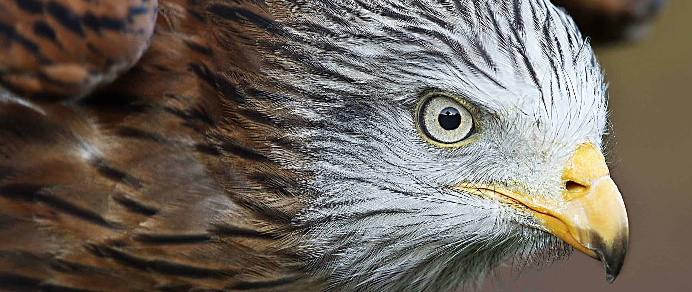 Red Kite at the National Centre for Birds of Prey, Duncombe Park, Helmsley UK