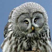 Great Grey Owl at the National Centre for Birds of Prey, Duncombe Park, Helmsley UK