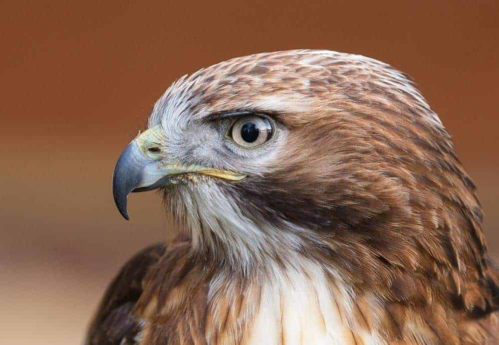 Adopt a Hawk, Buzzard or Falcon for 6 months