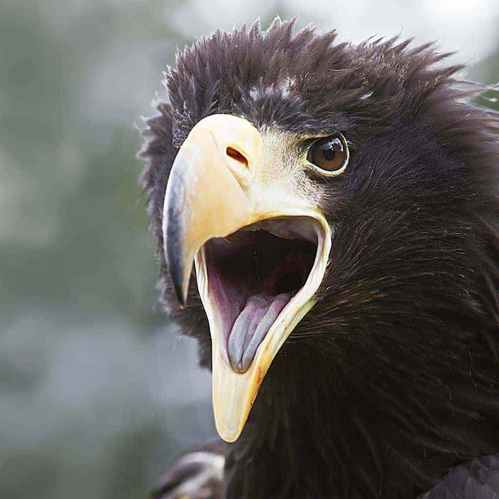 Adopt an eagle or vulture for 6 months
