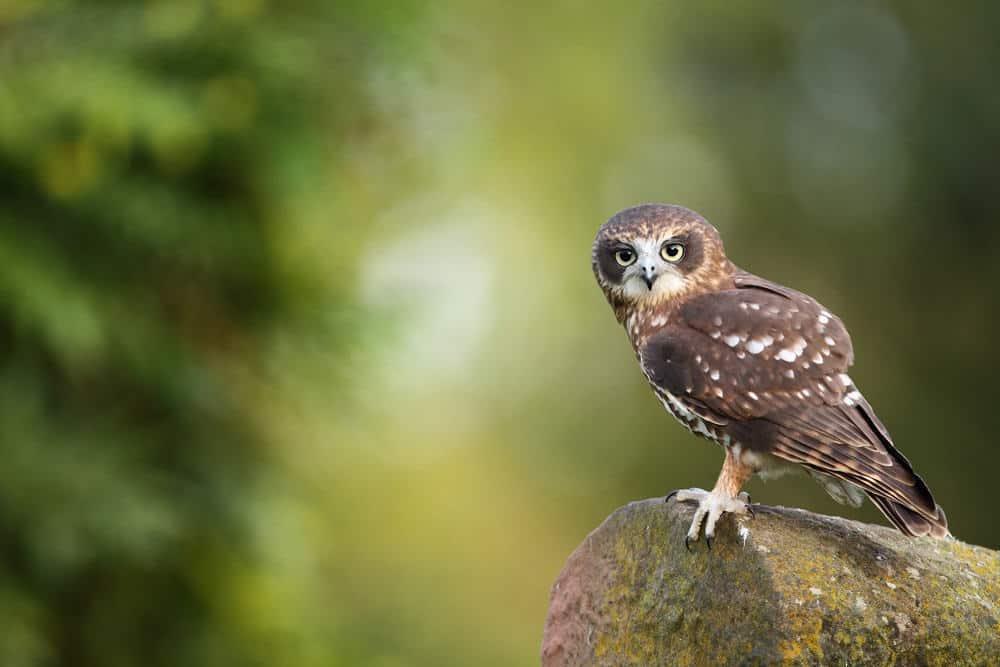 Adopt an owl for 6 months