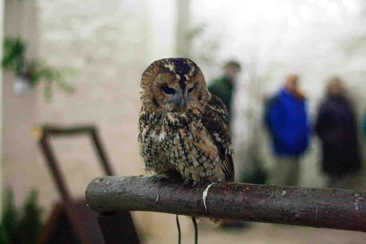 Tawny Owl at National Centre for Birds of Prey