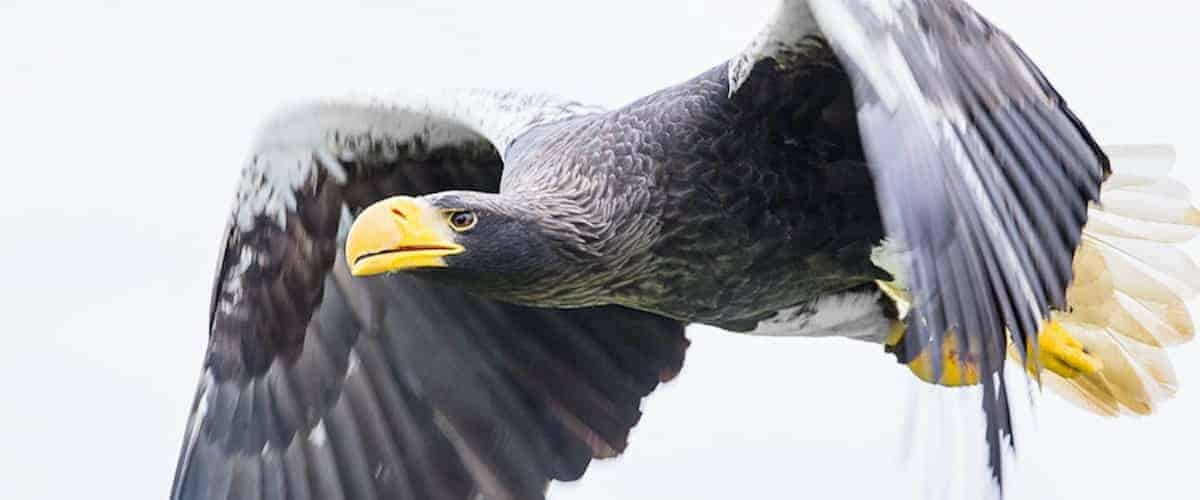 Steller's Sea Eagle at National Centre for Birds of Prey