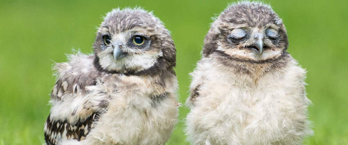 Baby Burrowing Owls at National Centre for Birds of Prey