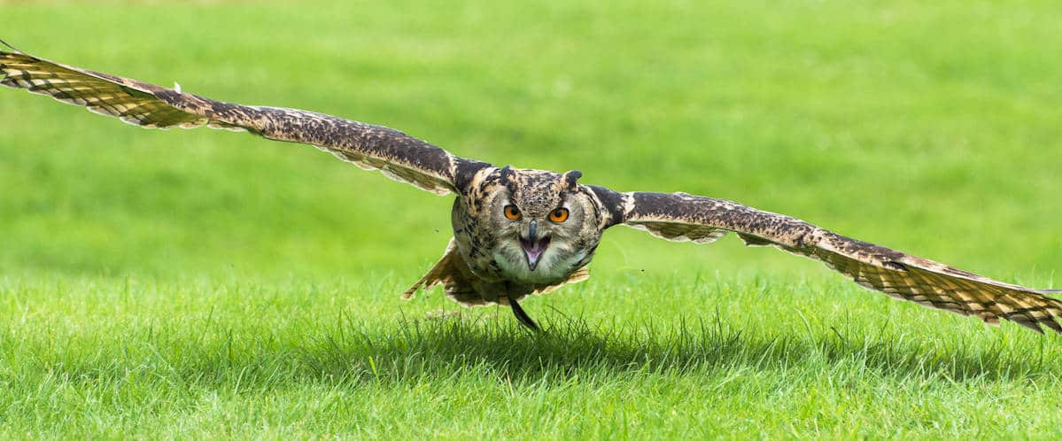 European Eagle Owl at National Centre for Birds of Prey
