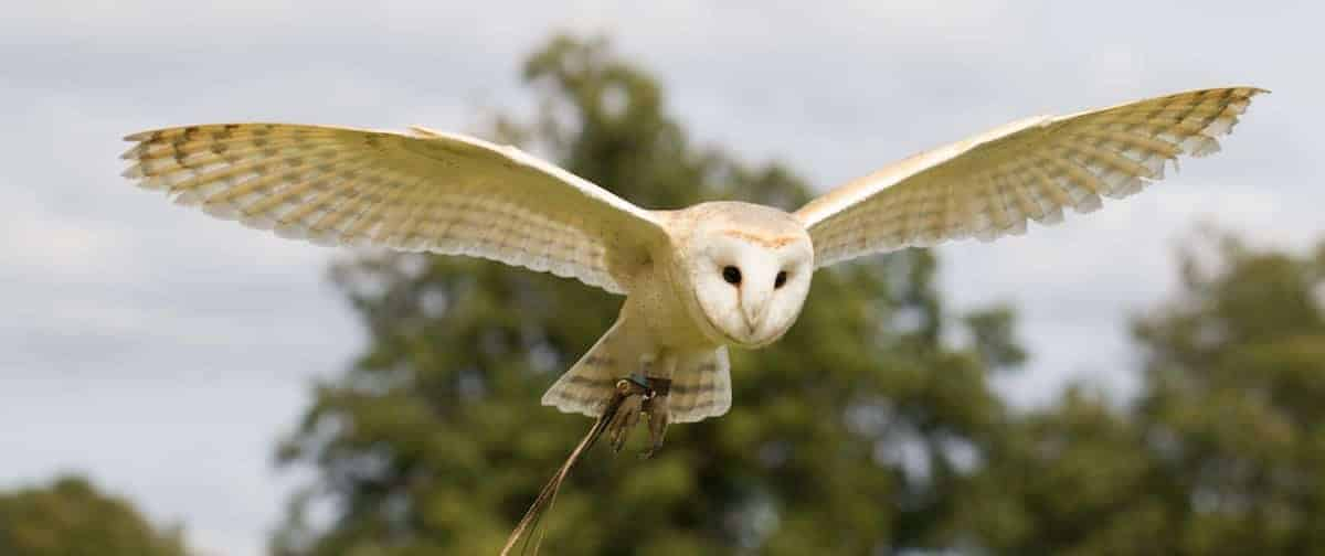 Flying Barn Owl at National Centre for Birds of Prey