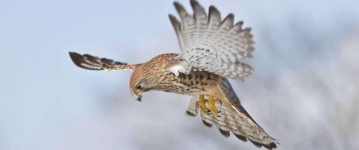 Kestrel Hovering at National Centre for Birds of Prey