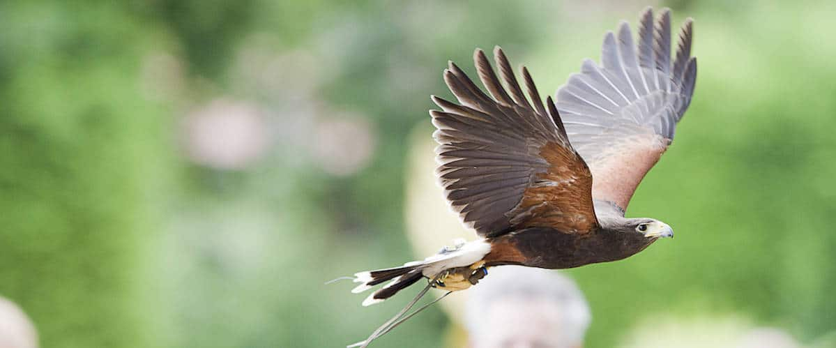 Harris Hawk at National Centre for Birds of Prey