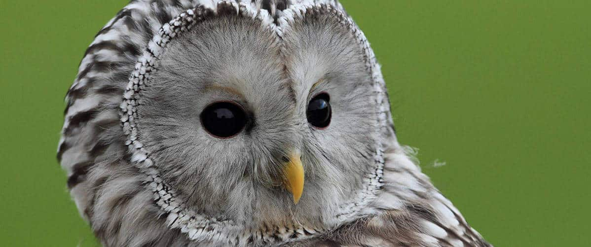 Ural Owl at National Centre for Birds of Prey