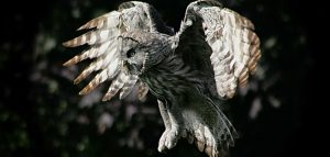 Great Grey Owl at the National Centre for Birds of Prey